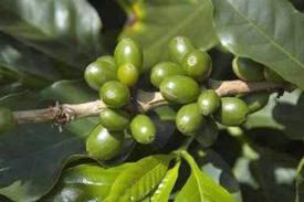 зерна зеленый кофе