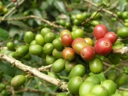 созревание зеленого кофе
